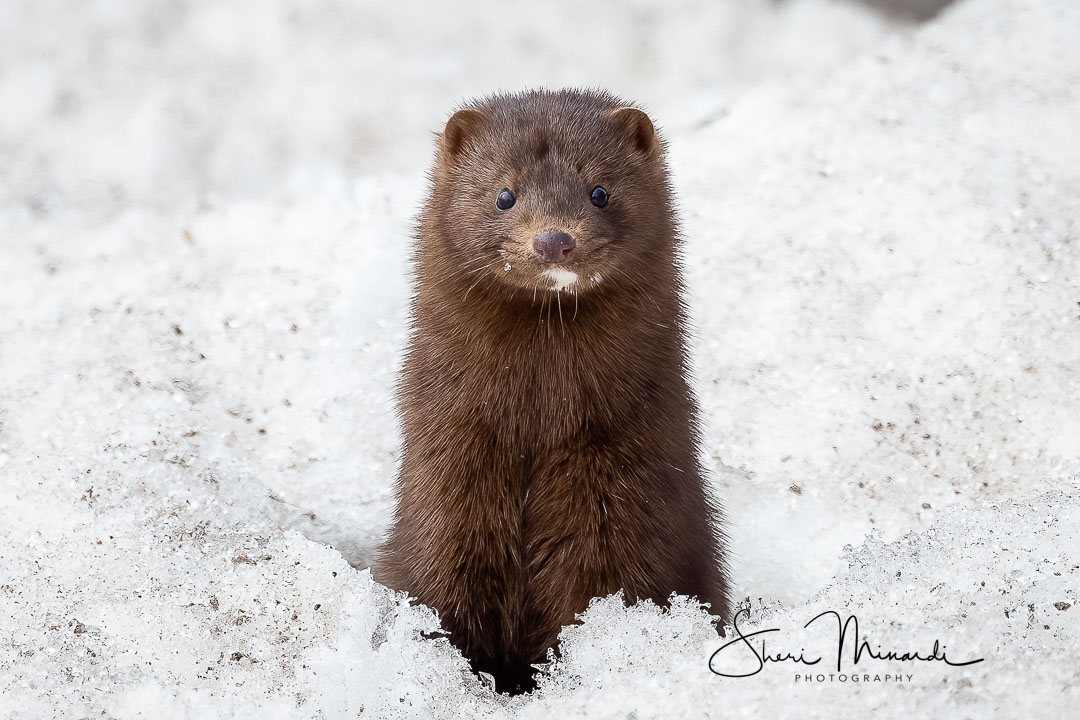 Mink Popping Up in Snow Hole - March 16, 2021