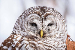 Barred Owl Up Close March 2019