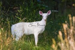 White Deer 2017 (1 of 5)