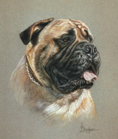 Bull Mastiff Portrait