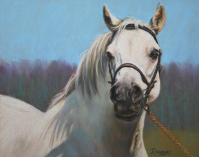 Grey Welsh Pony Portrait