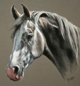 Grey Arab Horse Portrait