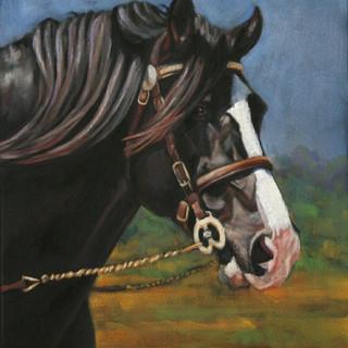 Welsh Cob Stallion Portrait