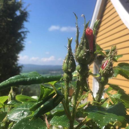 Har du problemer med bladlus? Fortvil ikke