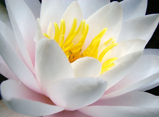 Witte waterlelie.JPG