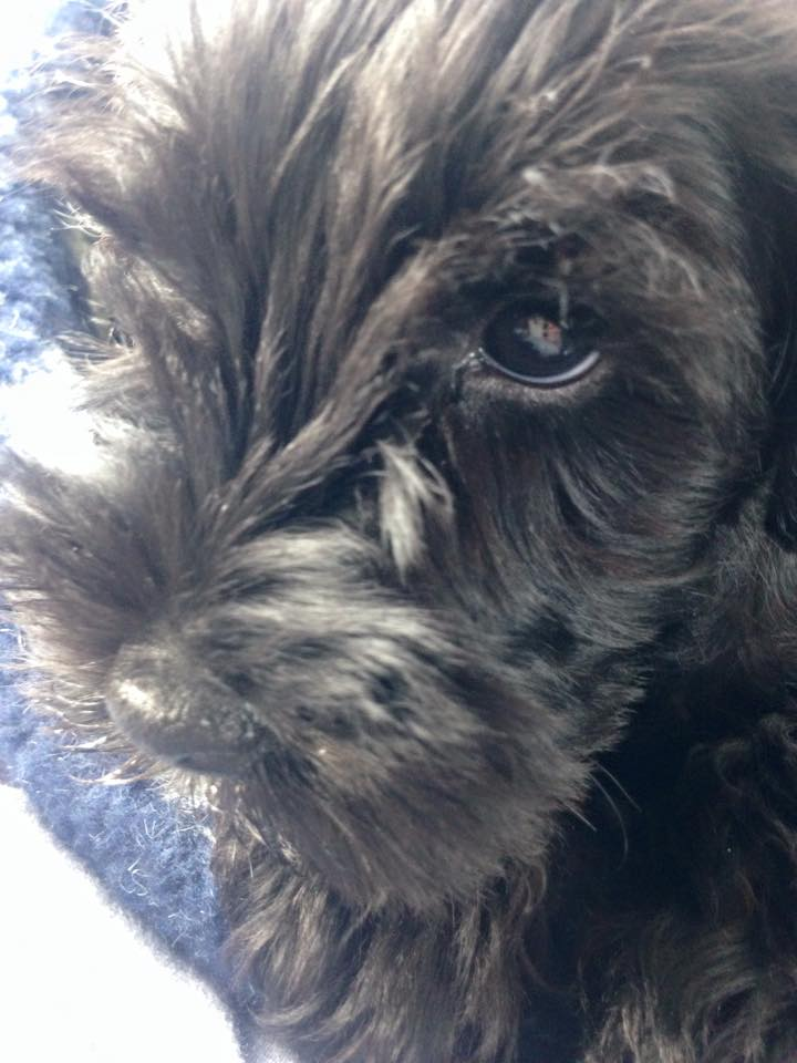 Wilf - our new mini Schnauzer!