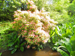 An Explosive Rododendron
