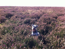 Wooster smiling in the heather
