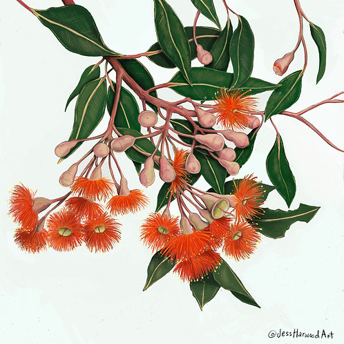 'Baby Orange' Gum Blossoms Fine Art Print