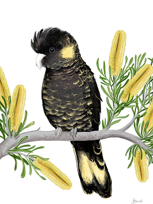 Yellow-Tailed Black Cockatoo with Banksias Fine Art Print