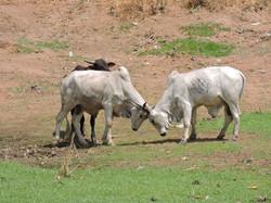 Bulls in Yeji