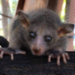 Bushbaby, Baby Bush Baby, Bush Baby, Bush Baby Breeder, Cute Bush Baby, Best pet, exotic pet, exotic pet for sale