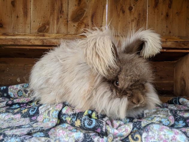 English Angora Rabbit- Wally