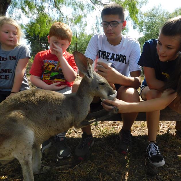 Hand Feed Kangaroos