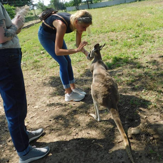 Kangaroo Animal Encounter