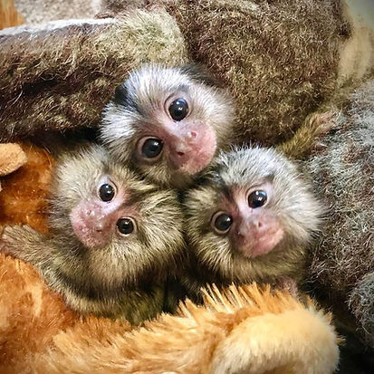 Marmoet Babies, Cute Marmoset, Marmoset Breeder, Marmoet for sale, exotic animal, exotic pet, exotic pet for sale, best pet, cute animal pictures