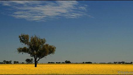 Canola Field.jpg