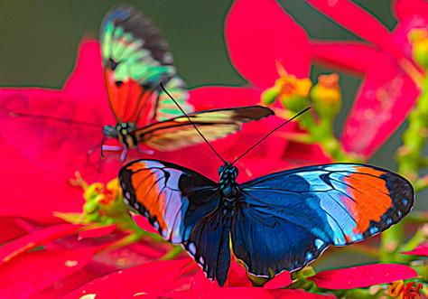Butterfly-Blume