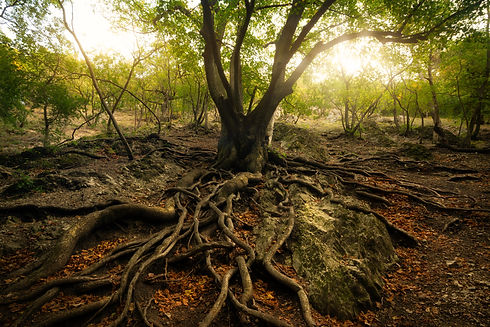 old-tree-with-big-roots-GRVQU27.jpeg