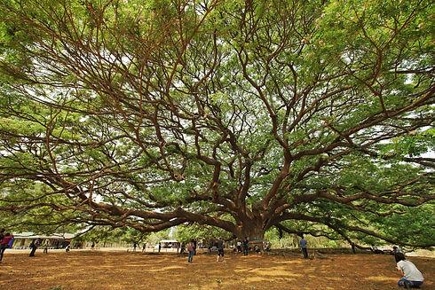 big-tree-FVHLWWH.jpg