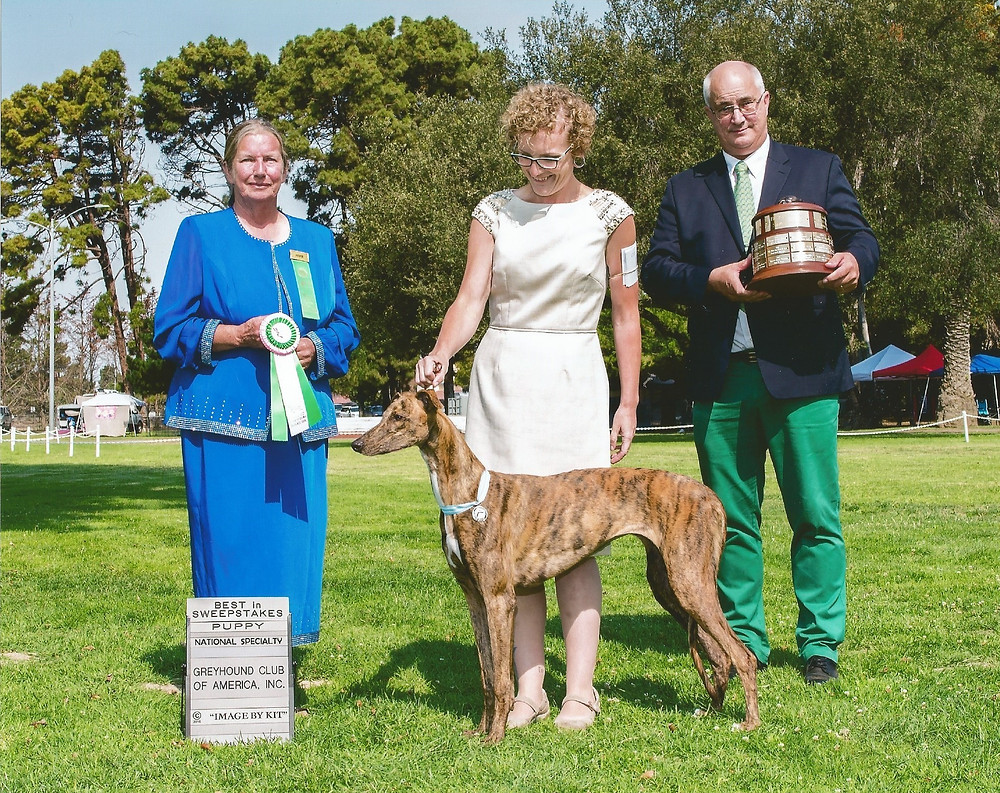 Windrock Something Wicked This Way Comes, aka Phoenix, wins Best in Sweepstakes under Laurie Soutar (Lakilanni Greyhounds, Canada)