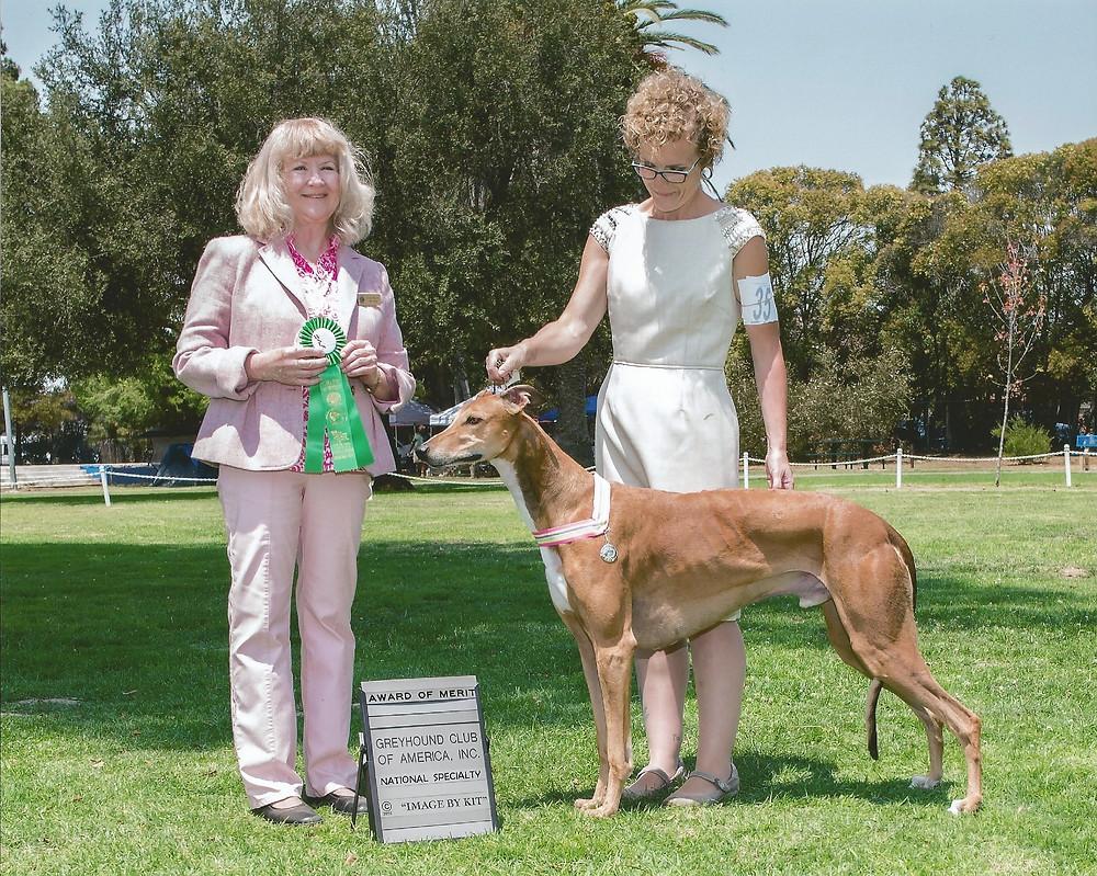 GCh DC Windrock Easy Money SC, aka Rowan, wins an Award of Merit under judge Carole Beyerle (Excelsior Salukis, California)