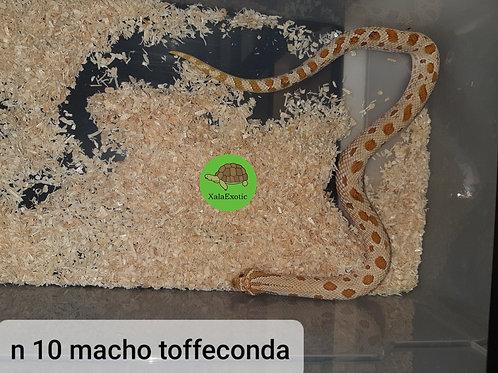 10 Macho Toffeconda