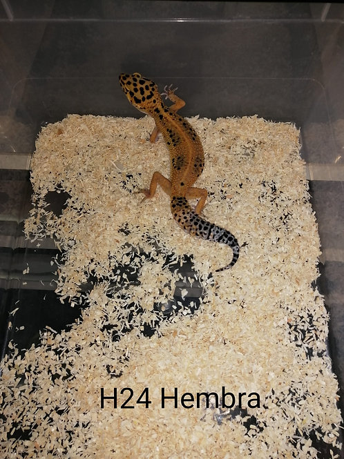 H24 Hembra