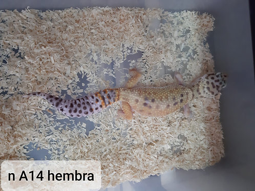 A14 Hembra
