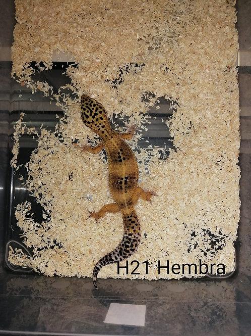 H21 Hembra