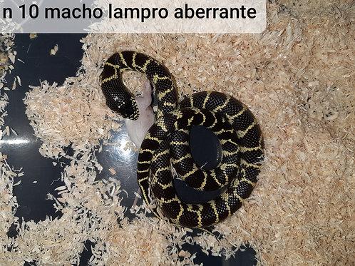 10 Lampropeltis Macho Aberrante