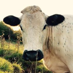Oak_Cow