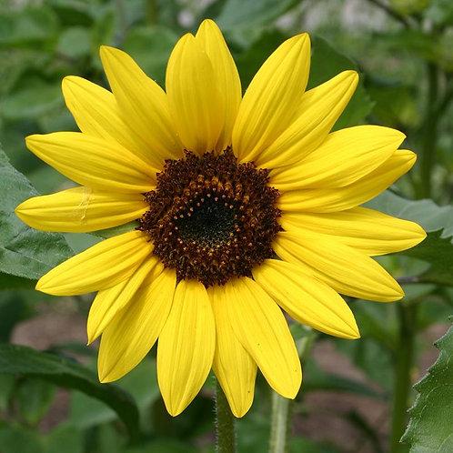 Zonnebloem, middelgroot, geel