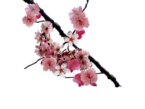 cherry_flower2.png