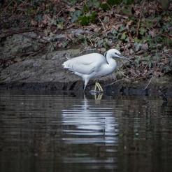 2019RFNHM_PDI_023 - Little Egret by Steven Pratt.
