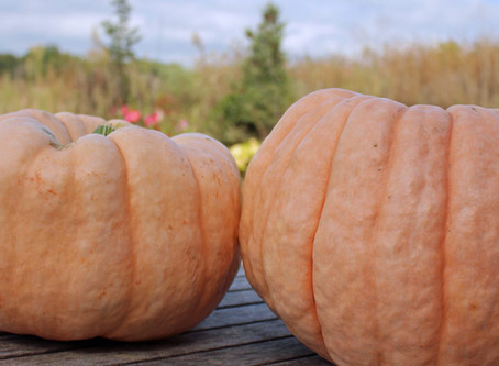 We Grew Pink Pumpkins This Year – For a Cause