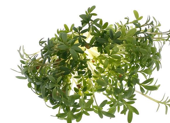 Cress Microgreens