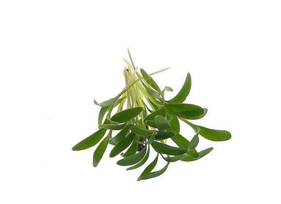 Coriander Microgreens