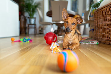 Little dog at home in the living room playing with his toys.jpg