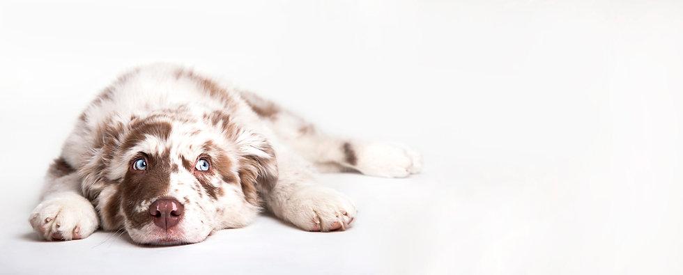 Funny studio portrait of the puppy dog Australian Shepherd lying on the white background,