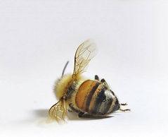 abeille%20morte_edited.jpg