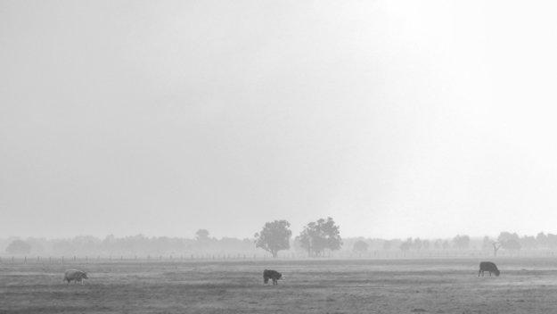 Field Cows V.3