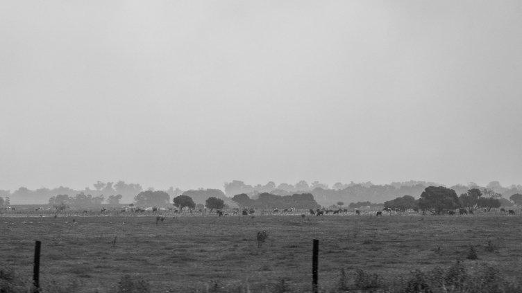 Field Cows V.1