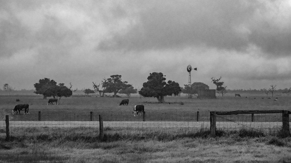 Field Cows V.4