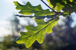Tarn Moor Memorial Woodlands Oak