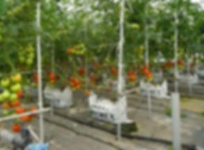 FOREXファームトマト生産.jpg