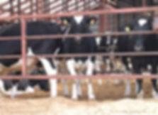バイオマス事業 使用例 肥育中 牛床への使用例.jpg