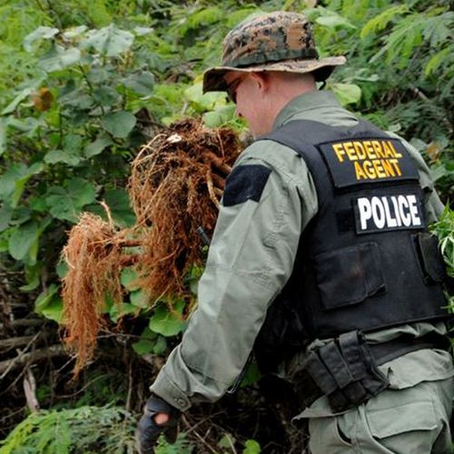 DEA Pot Busts Dropped by Almost 40% in 2017