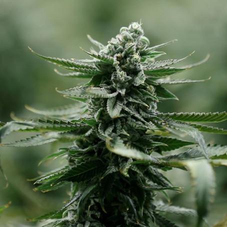 Portugal's parliament legalizes cannabis-based medicines