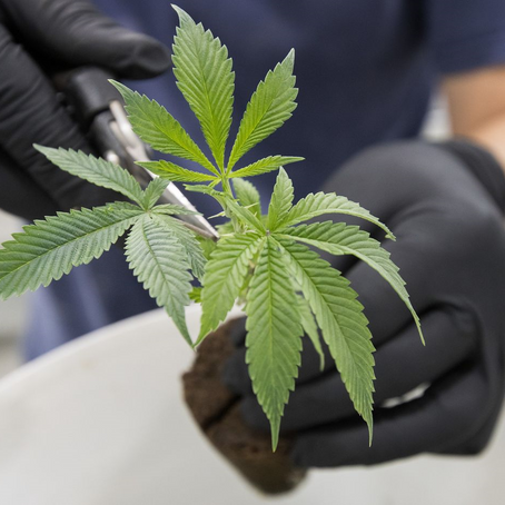 Canada may become the new leaders in cannabis research